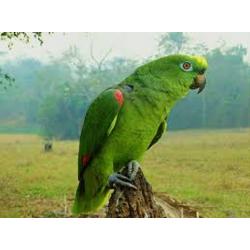 Papagaio campeiro